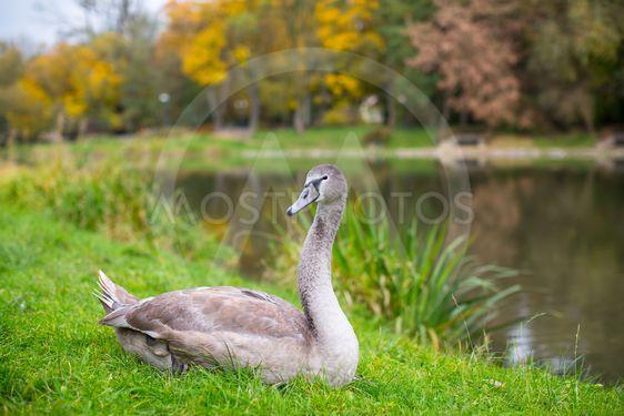 Swan grazing on a green meadow.