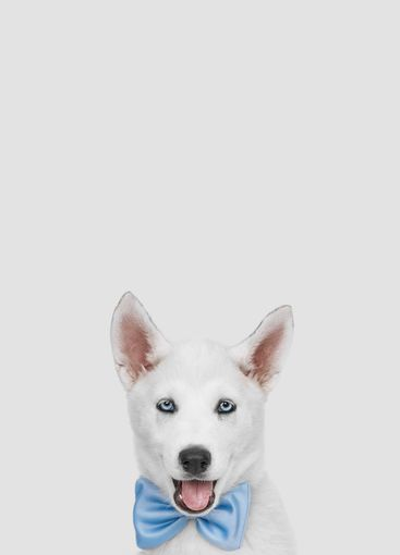 Siberian husky portrait looking at camera with tie