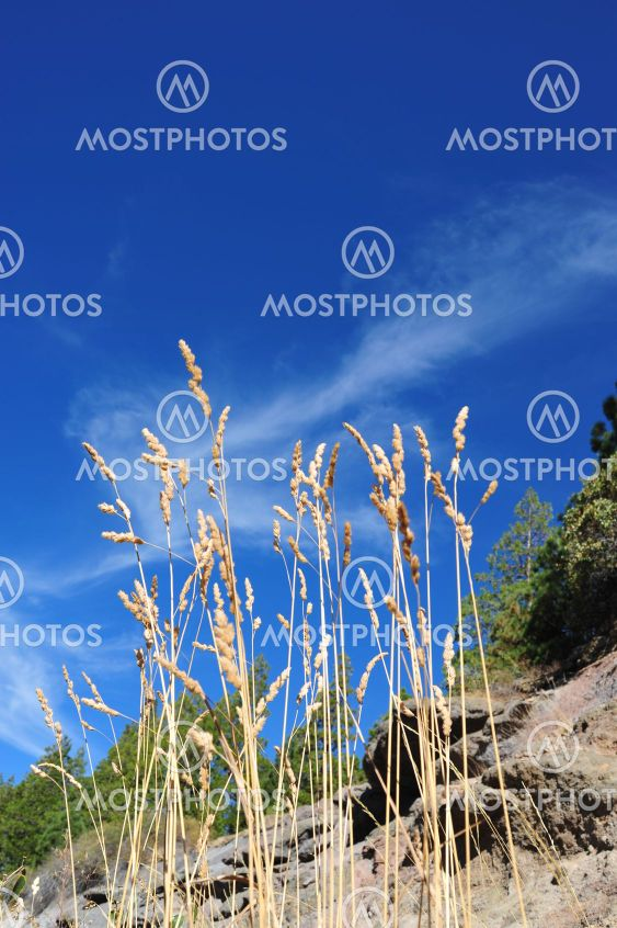 Kuivatut nurmikasvien siemeniä varsiensa ja sininen taivas
