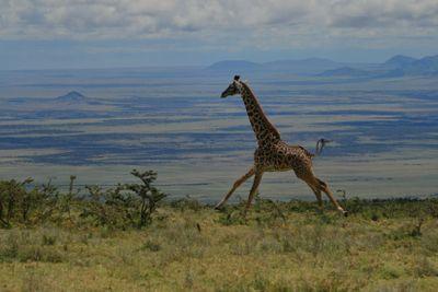 running girafe