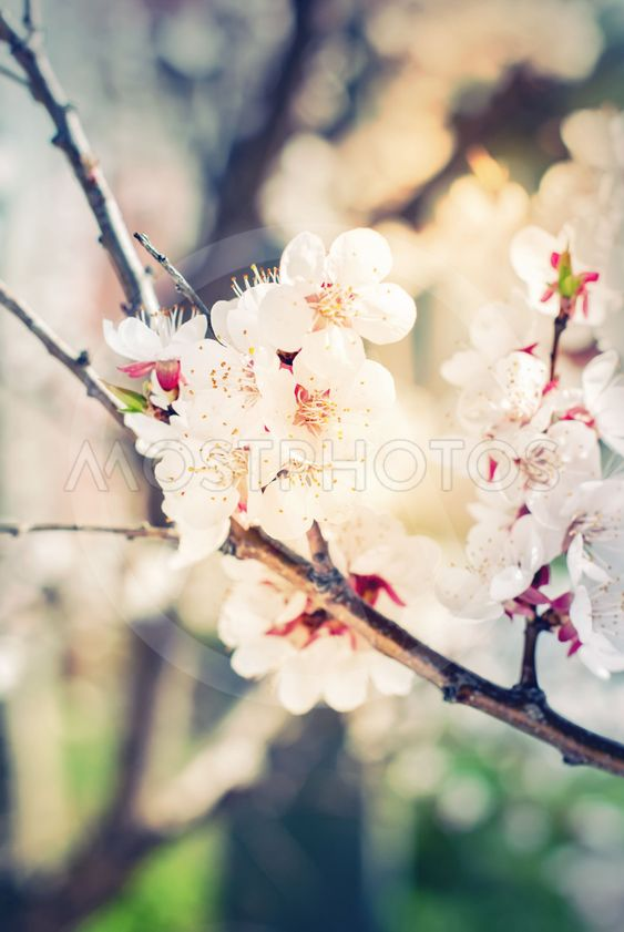 White Flowers of Cherry on a Branch