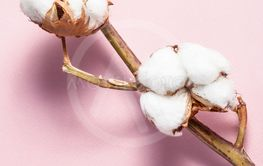 twig with ripe bolls with cottonwool on pink