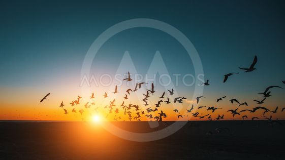 Silhouettes flock of Seagulls over the Sea during amazing...