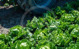 Tractor in lettuce iceberg farm. Harvest Lettuce iceberg