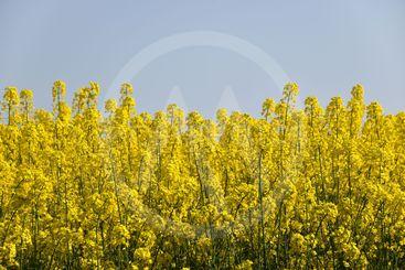 Närbild av blommande rapsfält vid en klarblå himmel