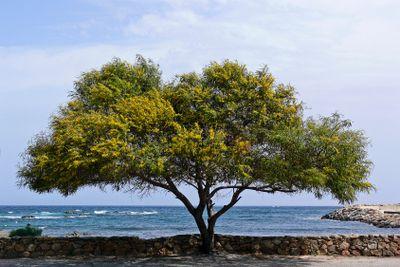 Akazie, Acacia, Sardinia