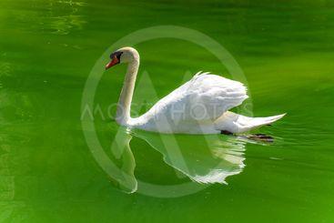 Vit svan i det gröna vattnet