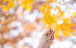 Maple leaves change color. From green to yellow until it...