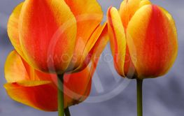 Three Tulips