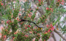 Cape sugarbird, Promerops cafer