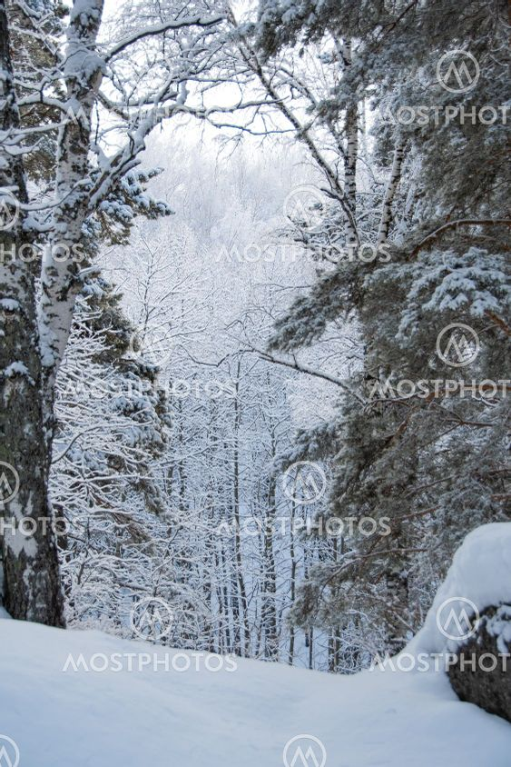 Dense snow forest on cloudy day. Branches of pine trees...