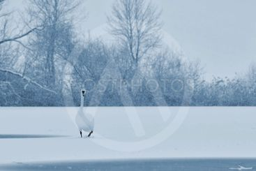 Swans in winter. Beautiful bird picture in winter nature...