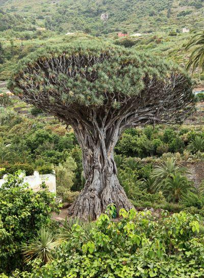 Dragon tree - Tenerife