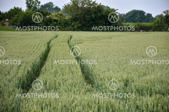 Traktorspår i ett sädesfält