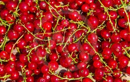 Fresh ripe red currant for background
