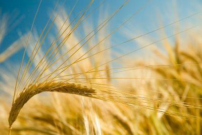 Ripe golden barley
