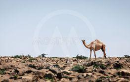 Camel in a desert in Oman