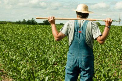 farmer standing in a corn field