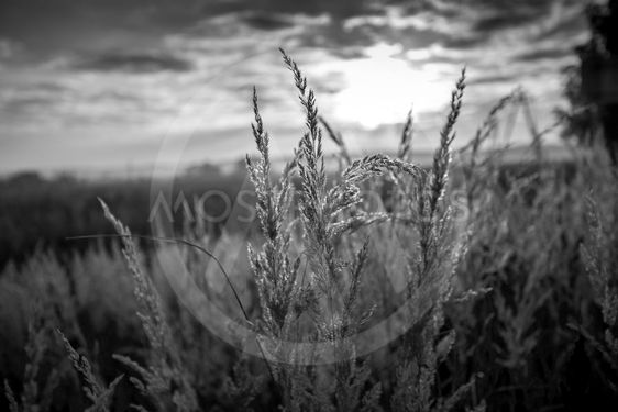 black and white shot of grass lit by sun at early morning
