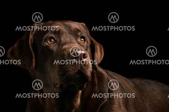 The portrait of a black Labrador dog taken against a dark...