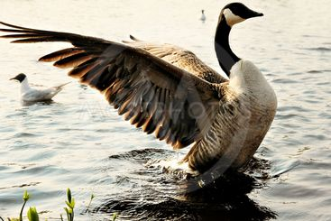 Goose flapping wings