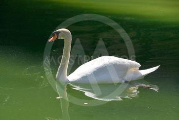 vit svan