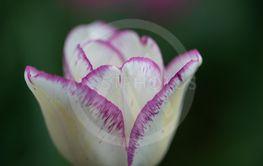 White/purple tulip