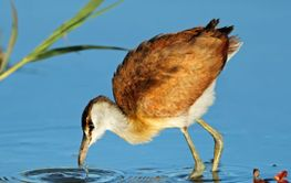 Female African jacana foraging