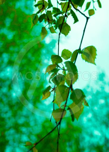 Young bitter-smelling tar birch leaves against the sky -...