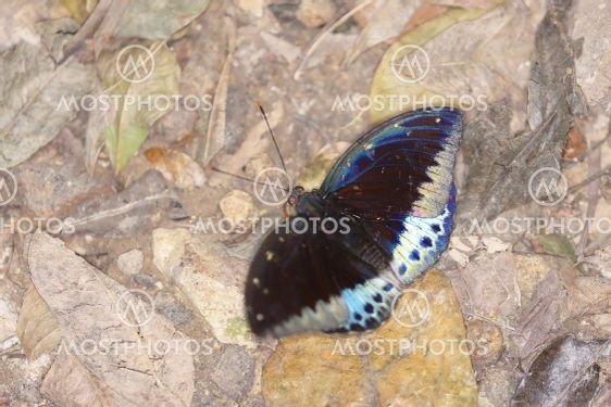 a Blue moths. at the nature back ground
