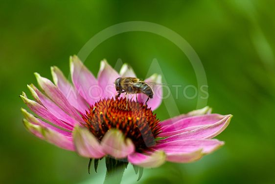 Coneflower with a bee on top