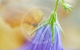 Beautiful unique macro shot of bluebell upside down on...