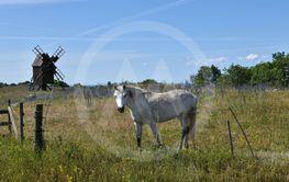 Vit häst vid en väderkvarn i Gettlinge på Öland