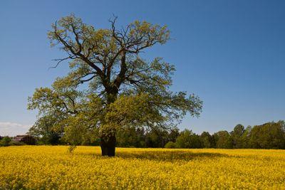 Träd i rapsfält