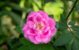 Pink of Damask Rose flower