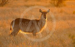 Backlit female waterbuck antelope