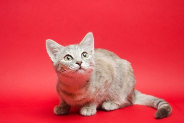 Gray tabby cat on a red background. Animal portrait....