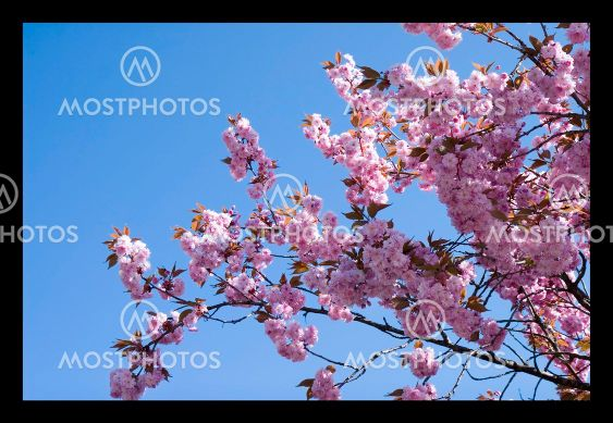 Cherry tree blossom 1