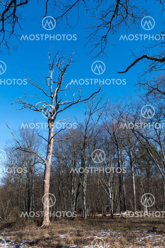 Dött träd i Halltorps Hages naturreservat på Öland