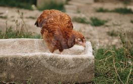 chicken in feeding trough
