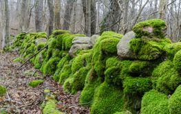 Vacker gammal mossbevuxen stenmur