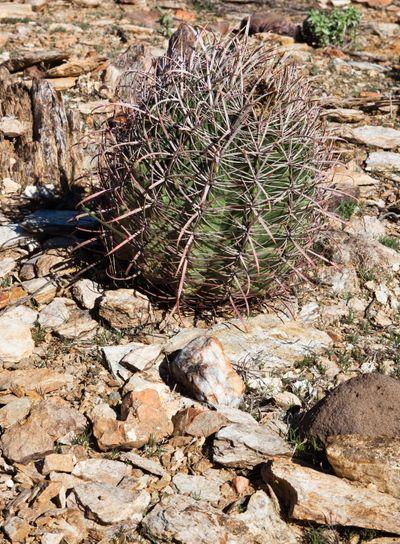 Small Round Cactus