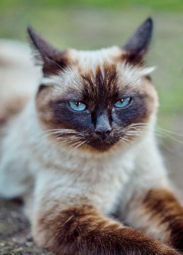Cute siamese cat lying on ground in yard