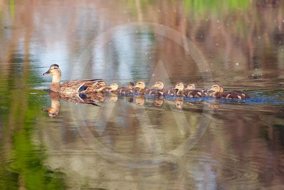 Mallard and her Ducklings
