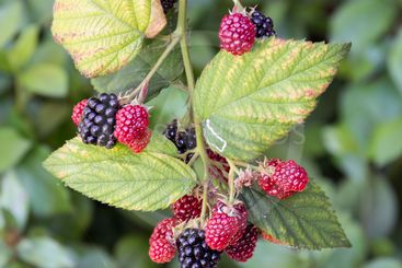 Blackberry bush with ripening black and red fruits