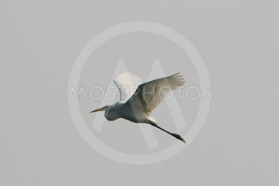 sea bird of  egret