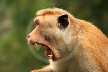 Portrait of Toque macaque yawning, Cave Temple in...
