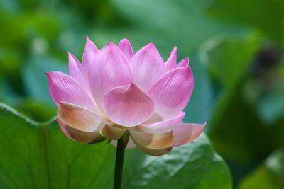 Lotus (Nelumbo)