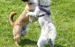 Hund-tango