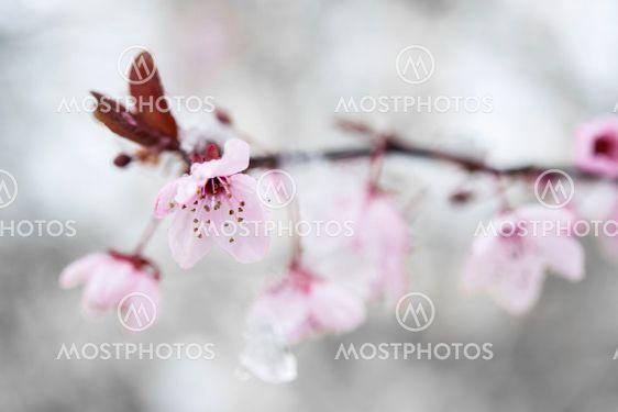 Cherry blossom and snow 2